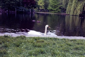Photo of swan on lake in Boston